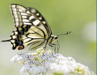 为什么有的蝴蝶要迁徙